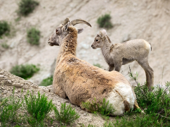 South Dakota Mountain Goat
