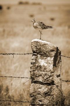 Bird On A Fence sepia webg