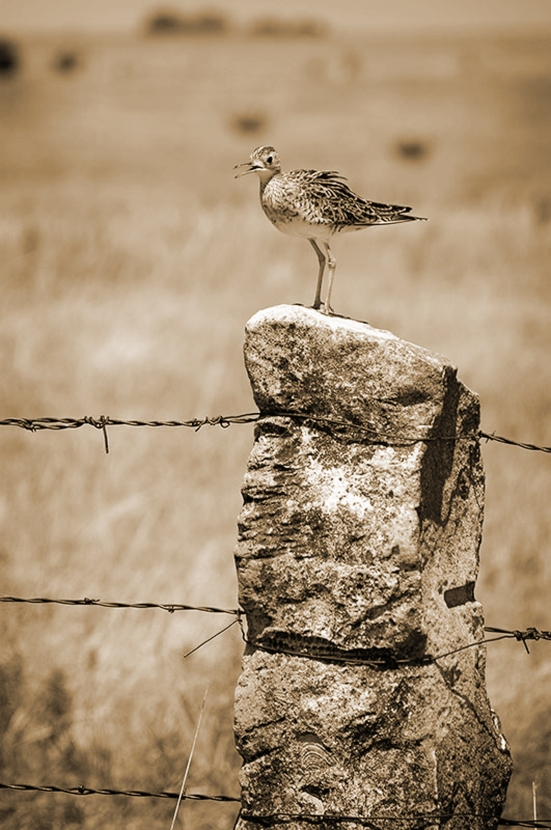 Bird On A Fence sepia webg