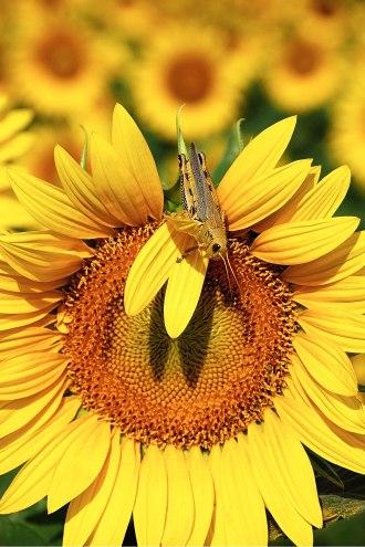 dsc_0188-web-sunflower-grasshopper-14hx22