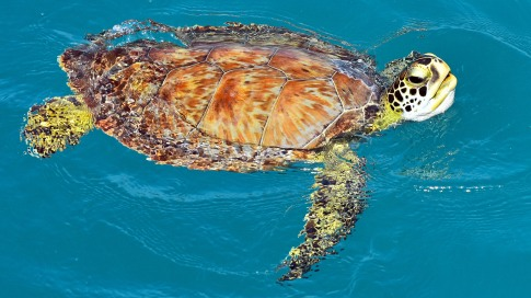 Sea Turtle in Nassau.
