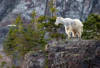 Montana Mountain Goat