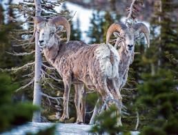 Montana Bighorn Sheep