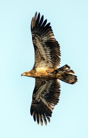 Kansas Eagle