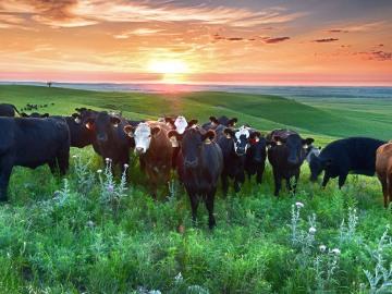 DSC_4613 web morning cattle gg