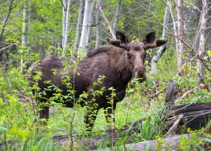 Wyoming Moose