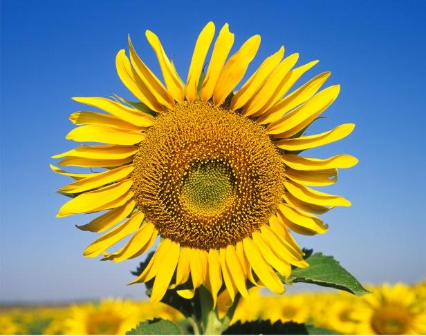 Sunflower web
