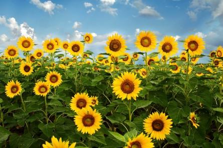 Sunflowers DSC_0077 web RTG don changes