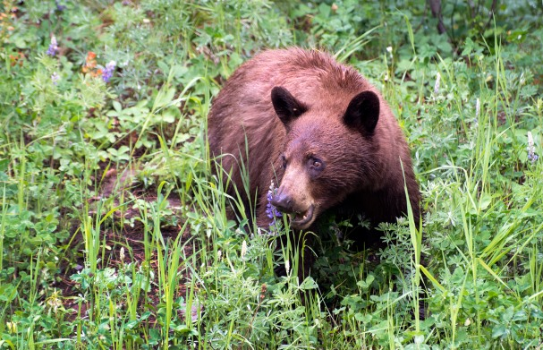 Montana Black Bear