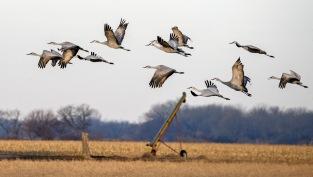 Sand Cranes in Nebraska