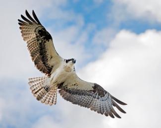 DSC_8152 Osprey web